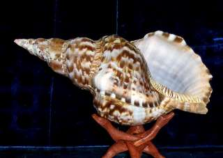 to 10 CARIBBEAN TRITON SEA SHELL NAUTICAL BEACH DECOR NAUTICAL